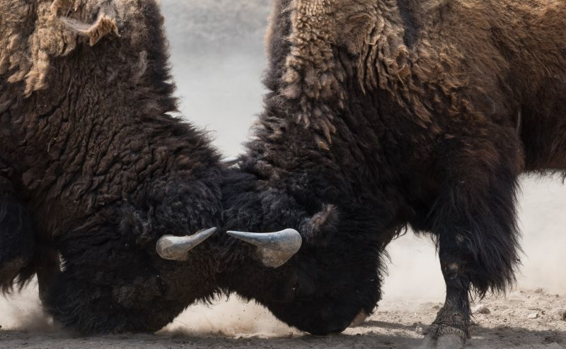 Bull collision